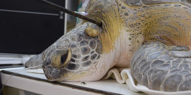 A boater in the Florida Keys found the speared turtle in distress Saturday entangled in black rope attached to a buoy.