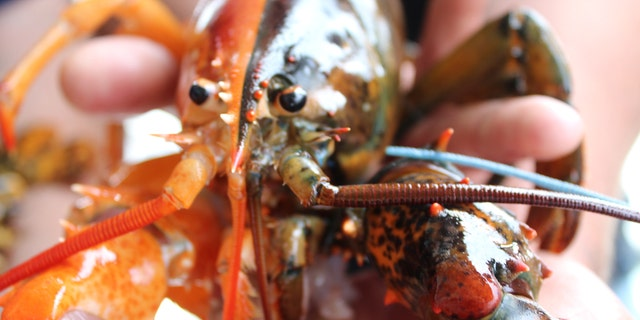 Force of Habit Captain Daryl Dunham found this rare two-toned lobster off the coast of Maine last week.聽