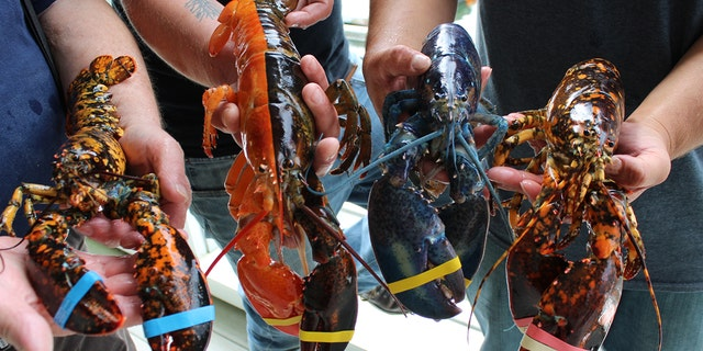 The lobster is currently on display with three other rare lobsters at the Maine Center for Coastal Fisheries' Discovery Wharf.