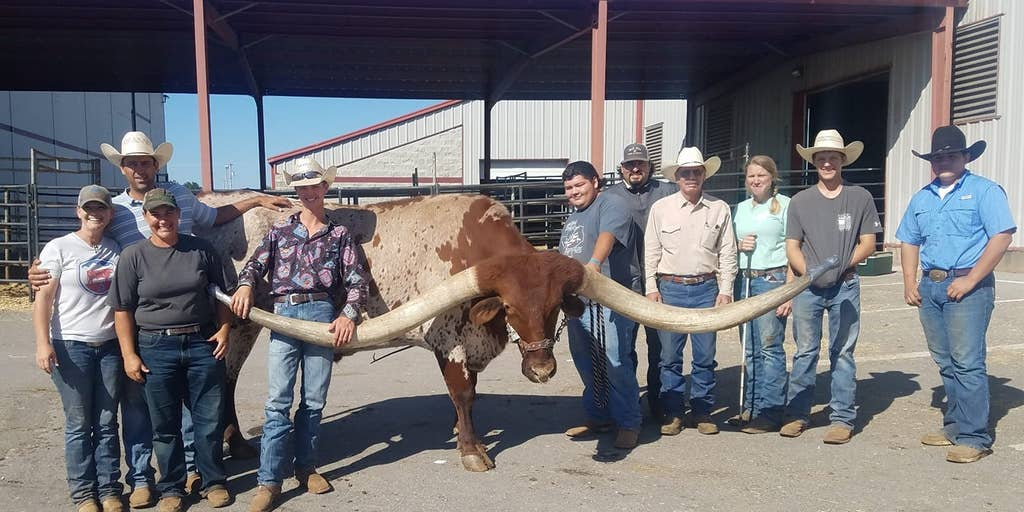 Texas Longhorn Named Bucklehead Breaks World Record For Horn Span See The Pics Fox News