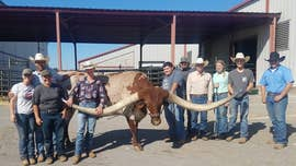 Texas longhorn named Bucklehead breaks world record for horn span: See the pics