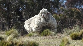 Chris the sheep, known for world-record amount of wool, dies in Australia