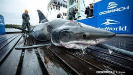 Great white shark captured off US coast with gash on head was bitten by even bigger shark, experts say