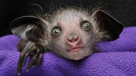 'Omen of Evil' baby aye-aye born in North Carolina