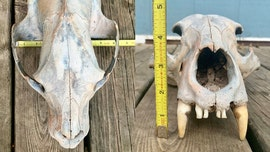 Kansas sisters discover 'ancient' bear skull along Arkansas River