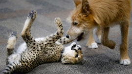 Baby cheetah, puppy play together in adorable video from Cincinnati Zoo