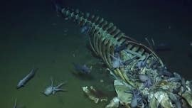 Deep-sea creatures devour whale carcass, photos and video reveal