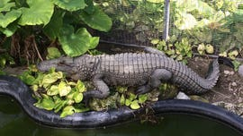Florida county tells people to maintain social distance of '1 alligator' amid coronavirus