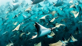 'Over 10,000' devil rays filmed swimming in formation in amazing video