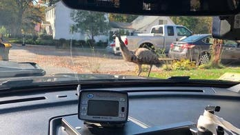 Massachusetts police used sock to calm emu that 'terrorized' community
