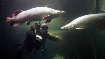 Amazon fish's 'bulletproof vest' is piranha protection