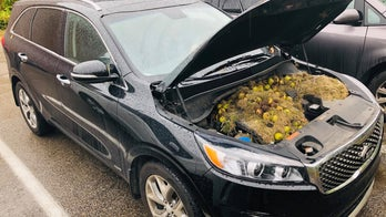Pennsylvania squirrels hide more than 200 walnuts under SUV hood: See the photo