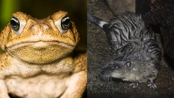 Australian water rats have learned to eat invasive poisonous toads with 'surgical precision'