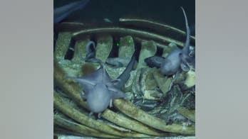 Deep-sea creatures devour whale carcass, photos and video reveal