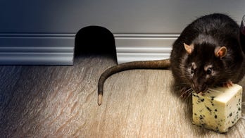 Rat caught eating cheese in grocery store by shocked customer: 'That rat knows what it's getting into'