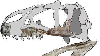 Siamraptor, newly discovered dinosaur, was a 'shark-toothed' carnivore