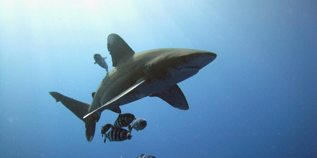 "The oceanic whitetip as been described as Jacques Cousteau as ""the most dangerous of sharks."""