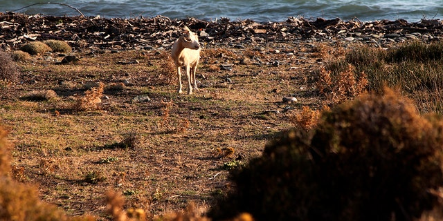 Goat herding is a way of life on Samothraki, a hard-to-reach Greek island in the northern Aegean Sea, but the animal population has left its mountains barren and islanders under the threat of mudslides.