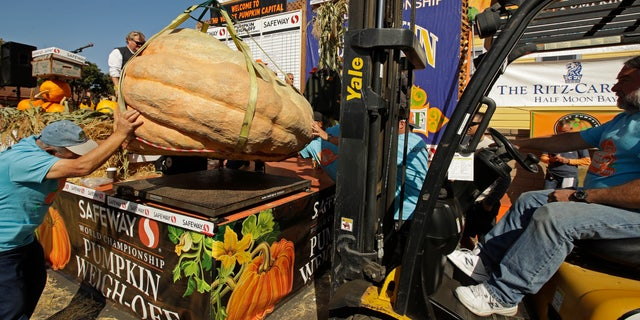 A massive pumpkin grown by Leonardo Urena of Napa, Calif., is lowered on a scale with a forklift on Monday, Oct. 14, 2019, in Half Moon Bay, Calif.