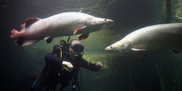Alex Reeson's diver checks on the Arapaima or Pirarucu fishes in the tropical section of Europe's biggest freshwater aquarium Aquatis. (REUTERS / Denis Balibouse)