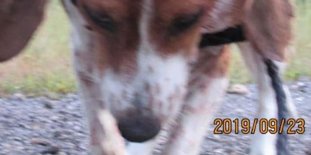 Westlake Legal Group BEAGLE $8G reward offered for info on Missouri beagle skinned alive   fox-news/us/us-regions/midwest/missouri fox-news/us/crime fox news fnc/us fnc Bradford Betz article 5d3a81a7-1555-5079-9d00-b2e3c5349f9b