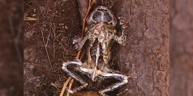 Cane toad (Bufo marinus), corpse eaten by a Water rat (Hydromys chrysogaster), one of the few native species that can kill them with impunity, either by being immune to the poison, or by avoiding contact with the poison glands. Queensland, Australia. (Photo by Auscape/Universal Images Group via Getty Images)