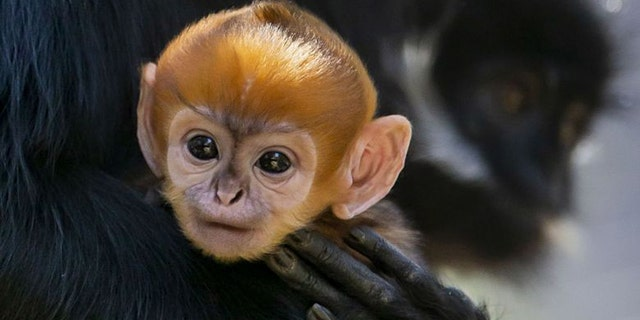 A very rare Francois' Langur monkey was born in Australia recently. (Targonga Conservation Society Australia)