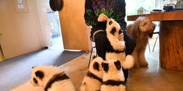 """The Cute Pet Games café, which opened last month in Chengdu, China, is catching some flak from the animal activist community because of its practice of dying <a data-cke-saved-href=""""https://www.foxnews.com/category/lifestyle/pets"""" href=""""https://www.foxnews.com/category/lifestyle/pets"""" target=""""_blank"""">Chow Chow dogs</a> to look like panda bears."""