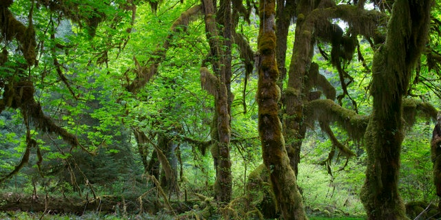 An image of an old maple tree covered with moss in the Hoh River rainforest in the Olympic National Park in Washington.