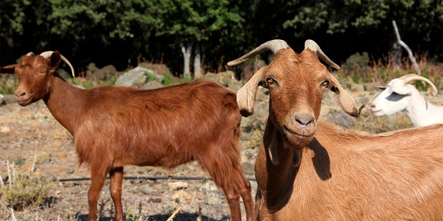 Goats on a road near Kato Meria village, on Samothraki island, northeastern Greece, this past September.