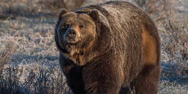 A Montana backcountry guide has died after he was mauled by a large grizzly bear that was probably defending a nearby moose carcass just outside Yellowstone National Park, officials said Monday. (iStock)