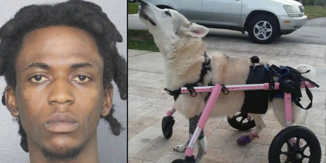 Mugshot for Jephthe Jean Francois, 19.Zorra was a disabled 13-year-old Husky mix.