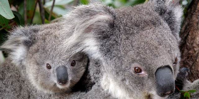Conservationists fear hundreds of koalas have perished in wildfires that have razed prime habitat on Australia's east coast.