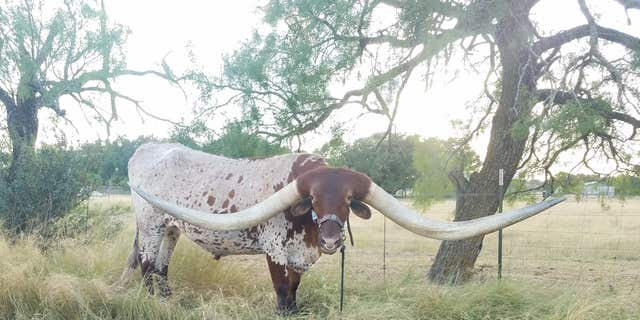 Westlake Legal Group Longhorn-1 Texas longhorn named Bucklehead breaks world record for horn span: See the pics Morgan Phillips fox-news/us/us-regions/southwest/texas fox-news/science/wild-nature/mammals fox-news/odd-news fox news fnc/us fnc article 7d7ccddc-48f5-5783-a766-86caeed61ff3