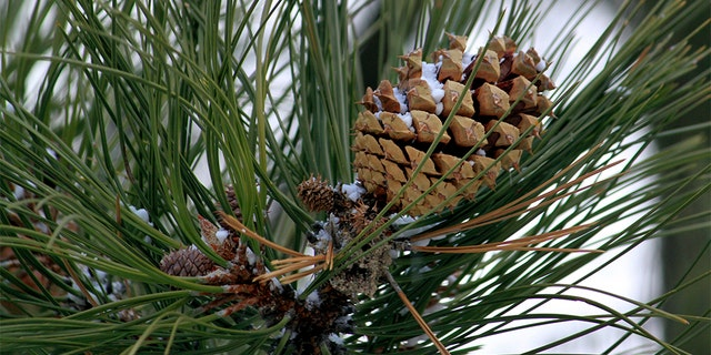 Westlake Legal Group Pine-Cone-Collectors-2 Wildfire threat sparks seed-collection projects to reforest charred hillsides Frank Miles fox-news/us/us-regions/west fox-news/us/us-regions/midwest/south-dakota fox-news/us/environment/climate-change fox-news/us/disasters/fires fox-news/us/disasters/disaster-response fox-news/us/disasters/aftermath fox news fnc/science fnc b8287333-07f1-5fd3-97a7-016b74d1db8d article