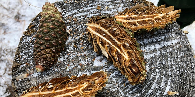 Ponderosa pine cones cut open during a demonstration at Bandelier National Monument near Los Alamos, N.M. (AP Photo/Susan Montoya Bryan)