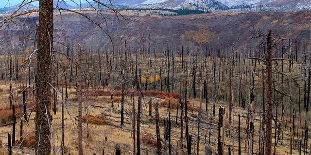 Thousands of acres of burned trees that remained years after a wildfire raced through part of Bandelier National Monument near Los Alamos, New Mexico. (AP Photo/Susan Montoya Bryan)