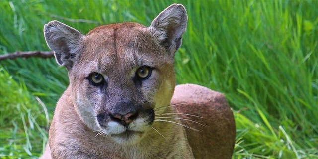 Westlake Legal Group Puma-NPS California man who fatally shot mountain lion gets 30 days in jail, 240 hours of community service Talia Kaplan fox-news/us/crime fox-news/us fox-news/entertainment/events/in-court fox news fnc/us fnc b4255c67-905e-50e5-881d-3e3f6adfecb9 article