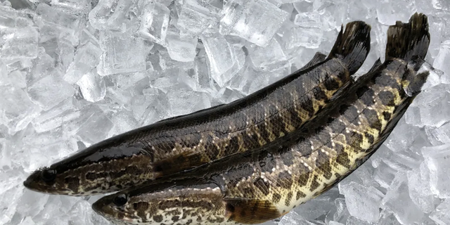 "Georgia wildlife officials urge anyone who spots northern snakeheads to ""kill it immediately and freeze it."""