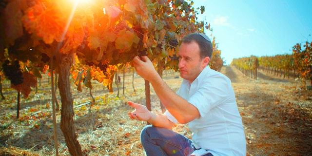 Israeli vineyard owner, Yaakov Berg, shows the grapes he is growing in the Holy Land in the mountains of Samaria.