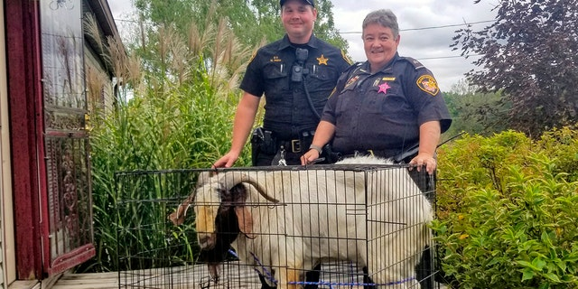 Deputies had to grab the goat by the horns and drag him outside. (Jenn Keathley via AP)