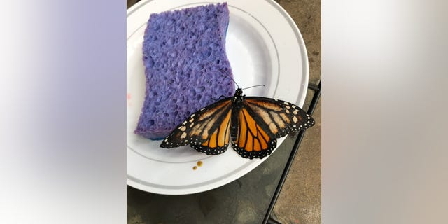 Westlake Legal Group butterfly-swns-sponge Monarch butterfly receives life-saving wing transplant at zoo, photos reveal fox-news/science/wild-nature/insects fox news fnc/science fnc Christopher Carbone article 137fb96a-3a88-5eee-856e-e34422ddb264