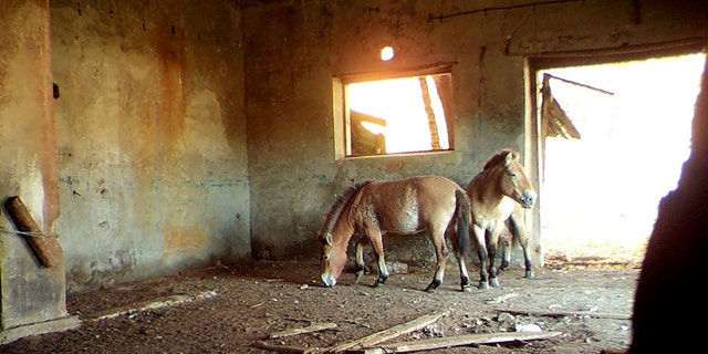 Researchers at the University of Georgia have found a strange inhabitant of the Chernobyl Exclusion Zone in Ukraine - rare Przewalski's horses which use the abandoned structures for cover for hours on end. (Credit: SWNS)