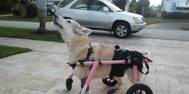 Westlake Legal Group disabled-dog Florida animal rescue groups launch desperate search to find disabled dog stolen with car Morgan Phillips fox-news/us/us-regions/southeast/florida fox-news/us/us-regions/southeast fox-news/us/crime/robbery-theft fox-news/us/crime fox news fnc/us fnc article a0c2d19f-0fd9-5e16-903f-2265f522f6a2
