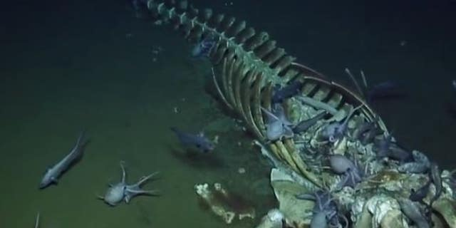 The whale skeleton being overtaken by deep-sea scavengers.