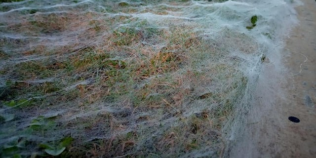 Spooky webs cover an entire grass verge in Scotland.