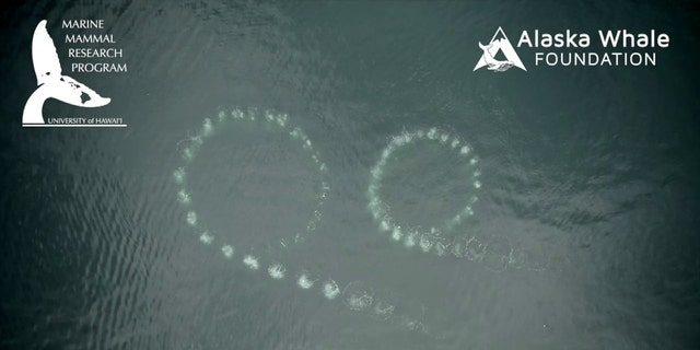 Footage shows whales using bubbles to trap prey