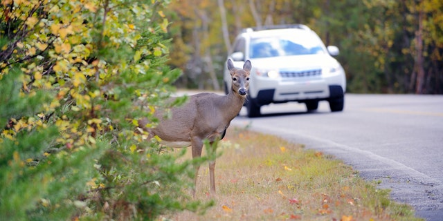 The Department of Fish and Wildlife have until 2022 to develop a salvage permitting process to set terms and conditions for drivers taking home the roadkill.