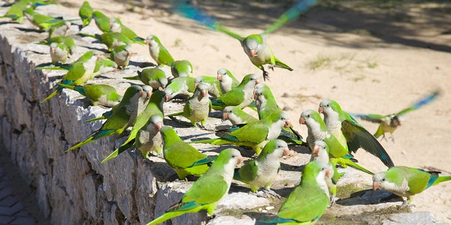 Monk parakeets largely have overrun the Spanish capital, posing several risks to the environment and public health.