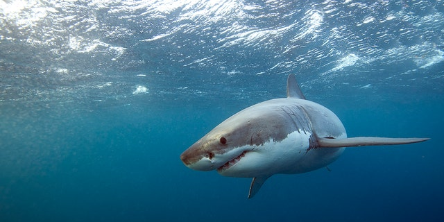 Great white sharks are lurking off NYC-area beaches